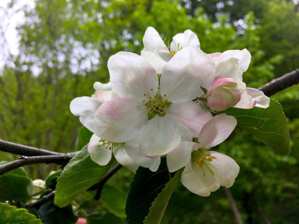 jaro kysuce květ jabloň
