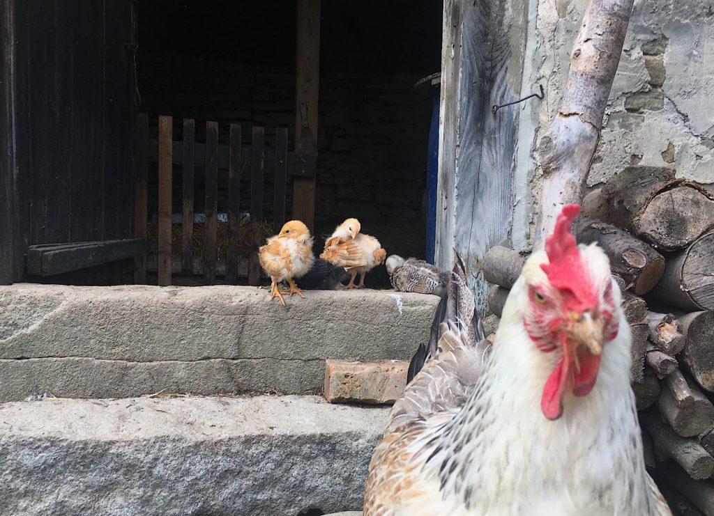 slepice kvočna kuřata kuřátka