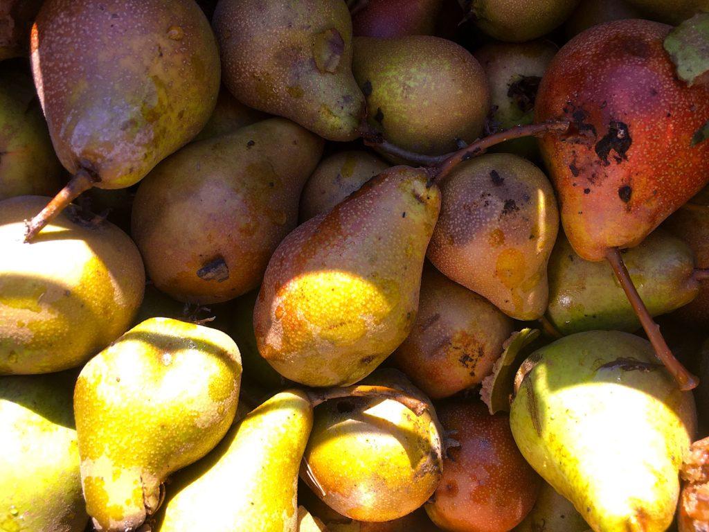 hrušky plody zralé podzim kysuce zlámaná