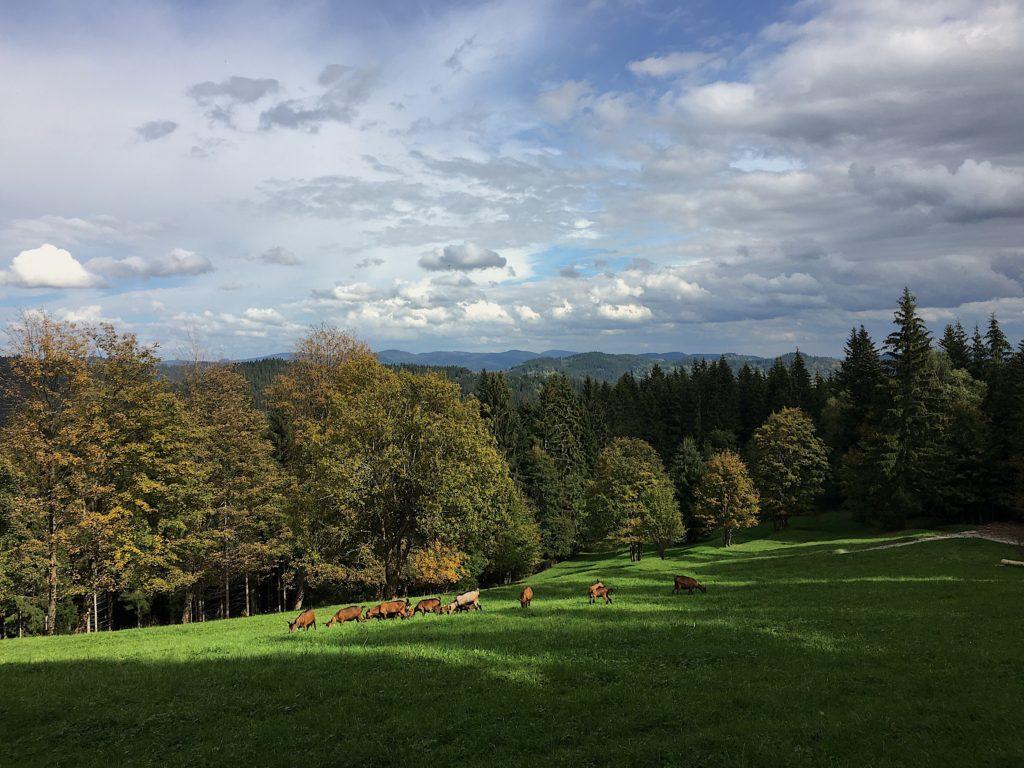 podzim kysuce pastviny kozy na pastvě louky