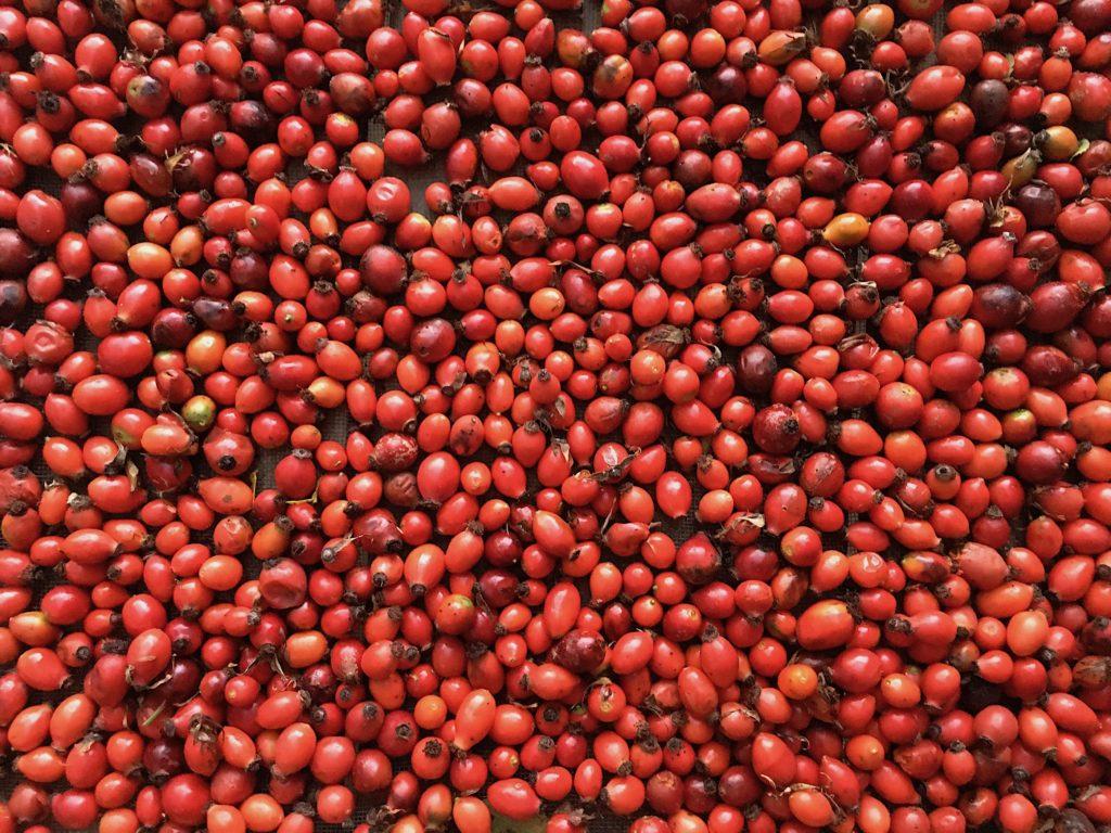růže šípková plod šípky červené zralé sušení