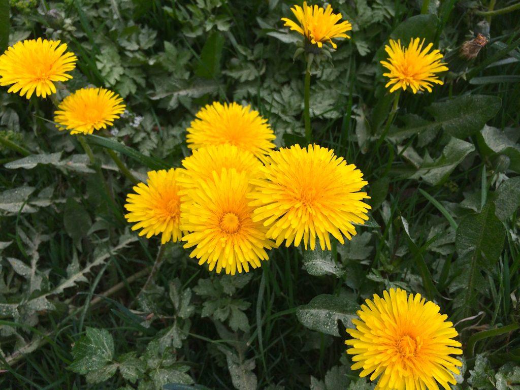 jaro kysuce máj květen smetanka lékařská pampeliška púpava