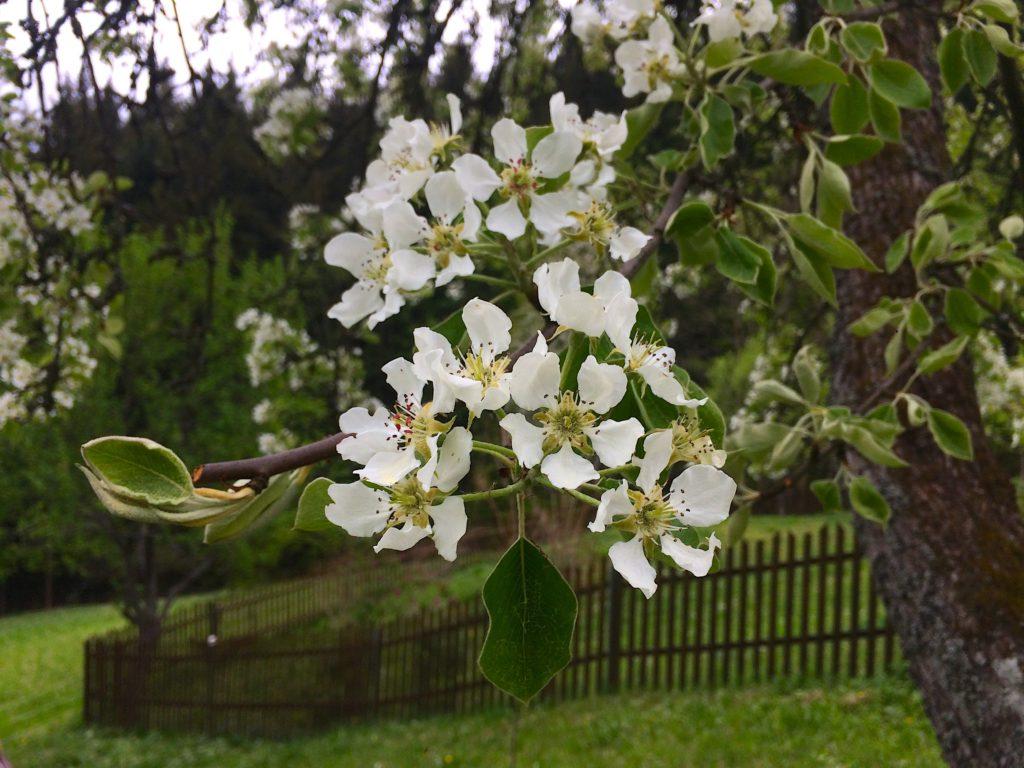 jaro kysuce květen květ hrušeň